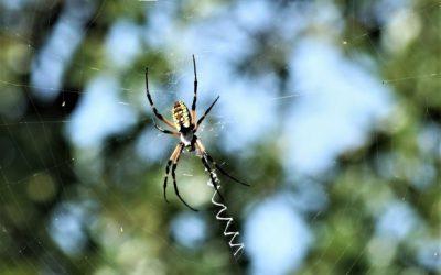 Agricultura experimenta con éxito el control biológico de la araña amarilla