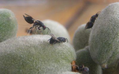 Declarada en la Región la plaga de la avispilla del almendro que obligará a quemar las almendras afectadas