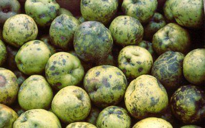 Respuesta a incidencia sobre manchas en manzanas