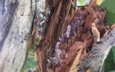 Consulta sobre manchas en ramas de melocotonero