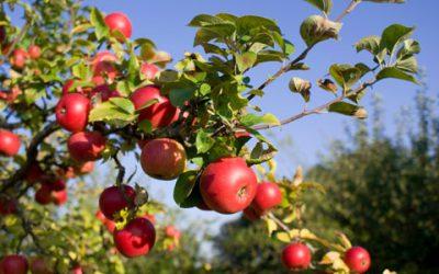 Consulta sobre manchas en manzanas