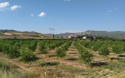 La cosecha de la almendra se frena en Aragón por las plagas