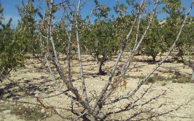 Consulta sobre melocotoneros secos