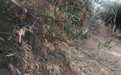 Consulta sobre ramas secas en oliveras