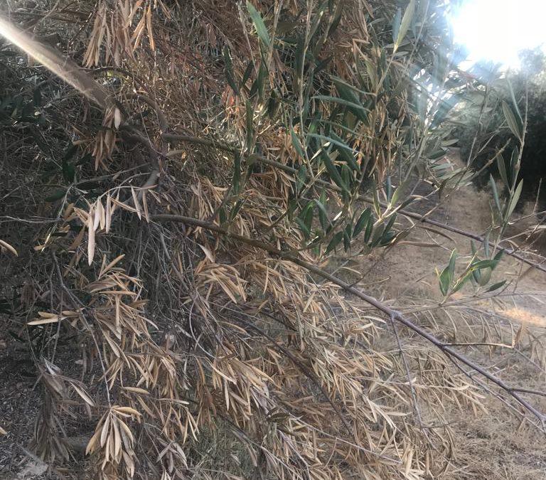 oliveras secas